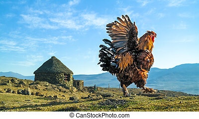 male chicken,cock or rooster flapping wings in the berg - a...