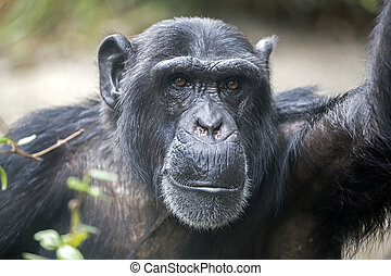 Male Chimpanzee Portrait