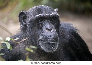 Male Chimpanzee Portrait