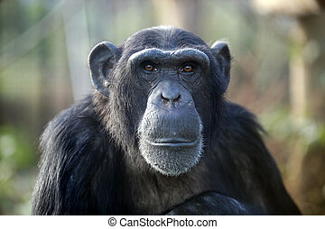 Male chimpanzee