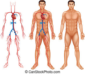 Male circulatory system - Illustration of the male ...