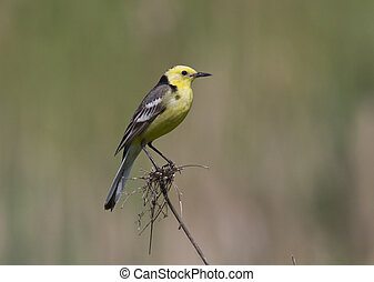 Male Citrine Wagtail sitting on a branch.
