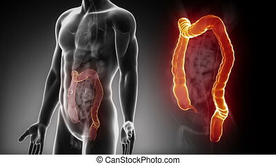 Male COLON anatomy in x-ray - Detailed view - Male COLON...