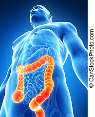 Male colon - 3d rendered illustration of the male colon