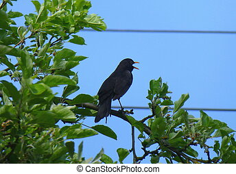 Male common blackbird standing and singing on the branch of a tree in front of the blue sky