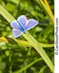 male common blue butterfly 3