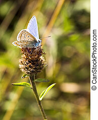 male common blue butterfly 4