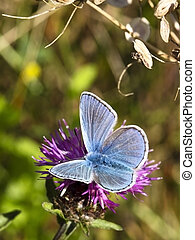 male common blue butterfly 5