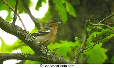 Male Common Chaffinch (Fringilla coelebs) sitting on a branch in an oak forest
