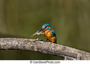 male common kingfisher (alcedo atthis) on branch with large fish in beak
