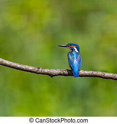 male common kingfisher (alcedo atthis) sitting on branch