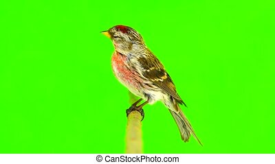male Common Redpoll (Acanthis flammea) on green screen