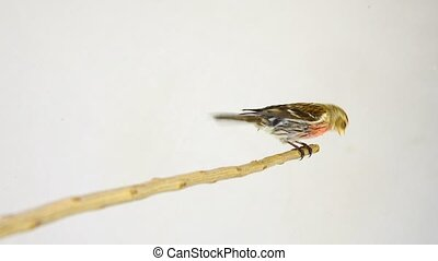 male Common Redpoll (Acanthis flammea) on white screen