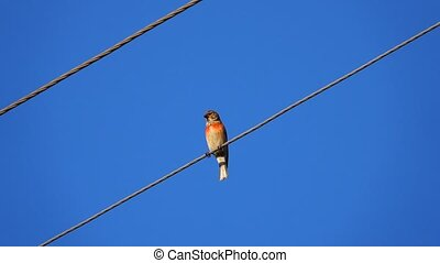 male Common Redpoll (Acanthis flammea) sitting on wires on a...