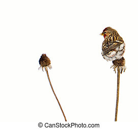 Close up image of a beautiful, colorful male common redpoll perched on a dead daisy stalk, isolated on white with copy space.
