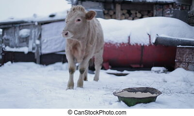 Male cow on the ground looking at the camera . Farm in winter.