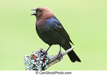 Male Cowbird On A Perch - Male Brown-headed Cowbird (...