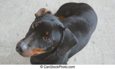 Male Dachshund Looking Up. Cute Funny Dachshund Dog. - Male...