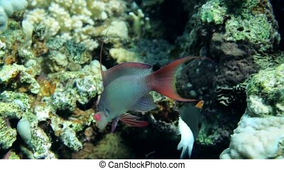 Male Daisy parrotfish Chlorurus sordidus is looking for food...