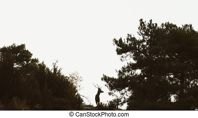 Male deer at top of hill against light rotating head -...