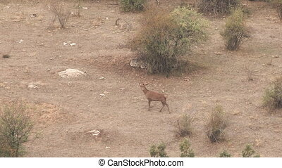 Male deer bellowing and running out of camera - Male deer...