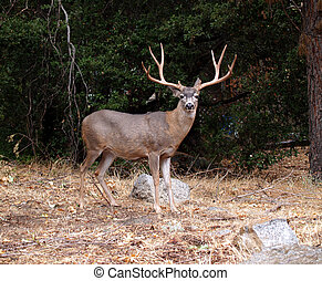 Deer - Male Deer grazing in Mariposa Grove in Yosemite...