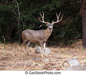 Male Deer grazing in Mariposa Grove in Yosemite National Park, California