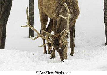 Male deer grazing