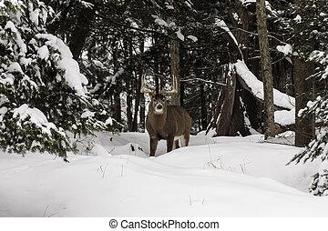 Male deer in a winter scene in forest