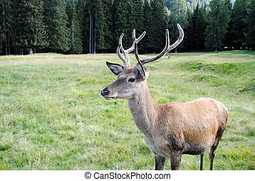 male deer  in mountain landscape