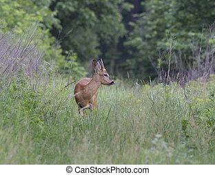 Male deer in the early morning.