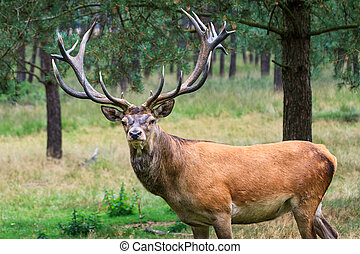 Male deer looking