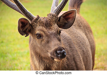 portrait of deer on Phu kradung nation park in Loei province ,Thailand