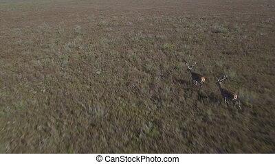 Male deers running in the bush, aerial view - Aerial view of...