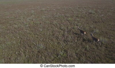 Male deers running in the bush, aerial view