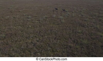 Male deers running in the smoothness, aerial view