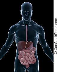 3d rendered illustration of a transparent male body with digestive system