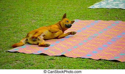 Video 1080p Full HD - Cute, playful, male dog with bushy tail, rolling on a picnic blanket in the grass to scratch his back in Vang Vieng, Laos.