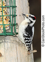 Male Downy Woodpecker Feeding on Suet - Grand Bend, Ontario