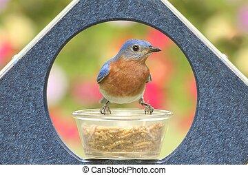 Male Eastern Bluebird on a Feeder