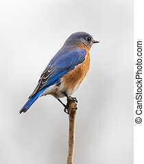 Male Eastern Bluebird (Sialia sialis) perched on a branch