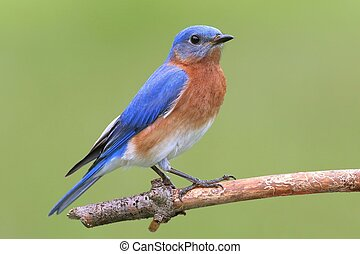 Male Eastern Bluebird (Sialia sialis) on a perch with a...