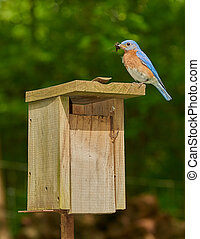 Male Eastern Bluebird with Chricket