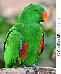 Male Eclectus Parrot (Eclectus roratus)