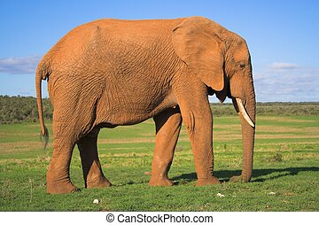 Male Elephant - Male African Elephant on the grass plains of...