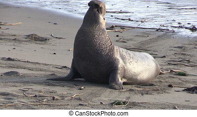 Male Elephant Seal - a male elephant seal on the beach