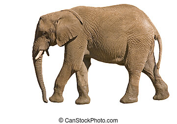 Male Elephant walking, and isolated on a white background