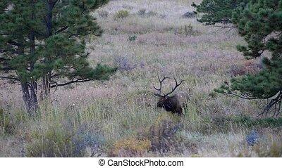 Male Elk Rocky Mountain National Park Steady Shot
