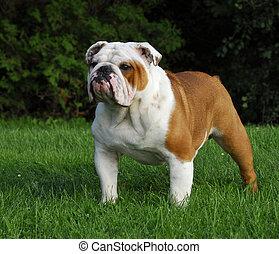 male english bulldog - beautiful champion male english...