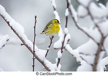 Male eurasian siskin bird in the winter